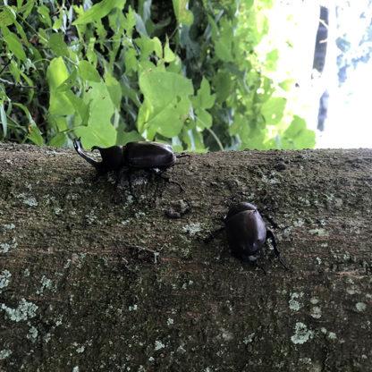 明日香村のカブトムシ